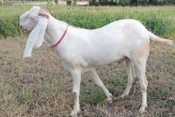 Rajanpuri-Bakra-