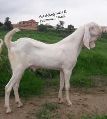 Rajanpuri-Bakra