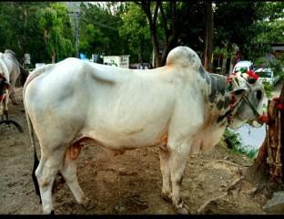 bull-muzaffarabad