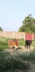 Desi Bull