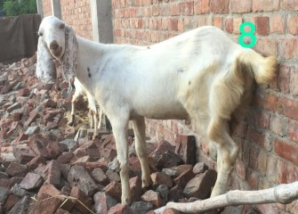 Rajunpurri