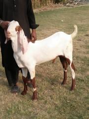 Rajunpurri Jhorri