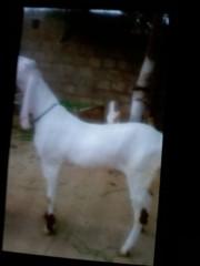 Rajenpuri White