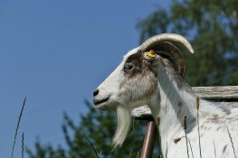 Online purchase of bakra for Sadqa and Aqeeqa